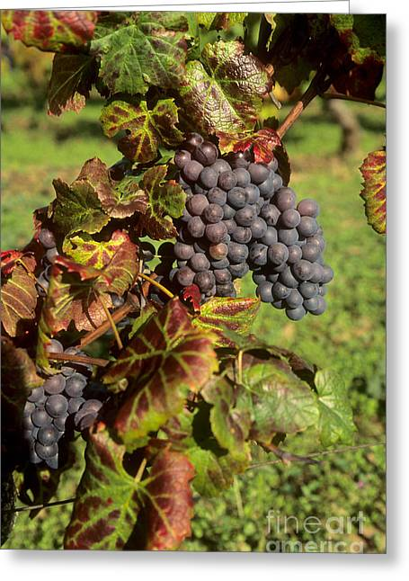 Red Wine Greeting Cards - Grapes growing on vine Greeting Card by Bernard Jaubert