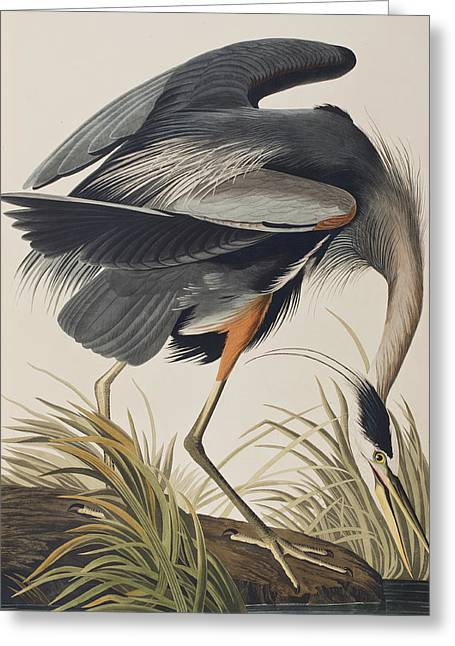 Great Paintings Greeting Cards - Great Blue Heron Greeting Card by John James Audubon
