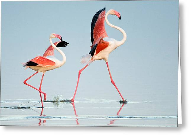 Greater Flamingos Phoenicopterus Roseus Greeting Card by Panoramic Images