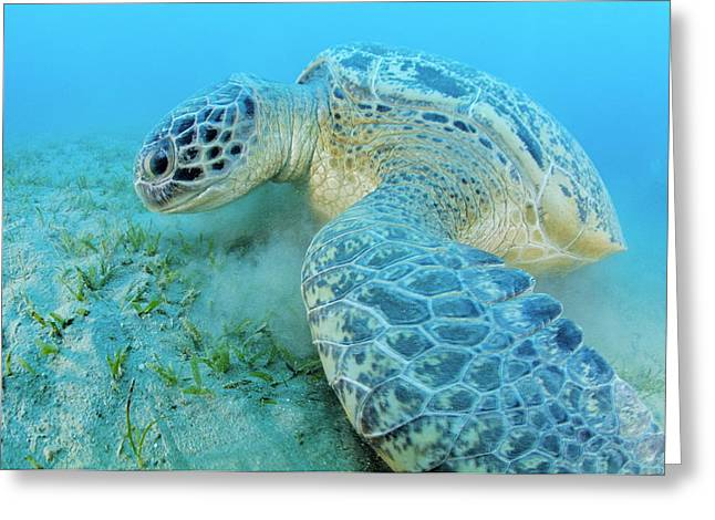 Long-lived Greeting Cards - Green Sea Turtle Greeting Card by Alexis Rosenfeld