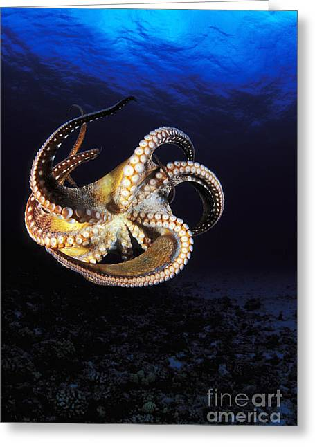 Hawaii, Day Octopus Greeting Card by Dave Fleetham - Printscapes