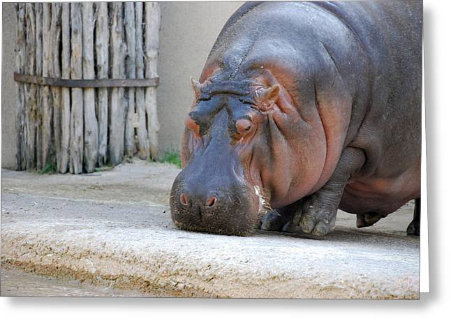 Best Sellers -  - Sahara Sunlight Greeting Cards - Hippo Greeting Card by Thea Wolff