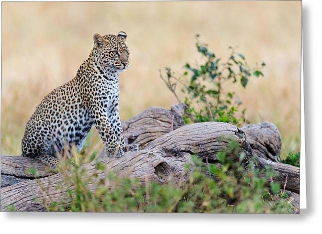 Leopard Panthera Pardus Climbing Greeting Card by Panoramic Images