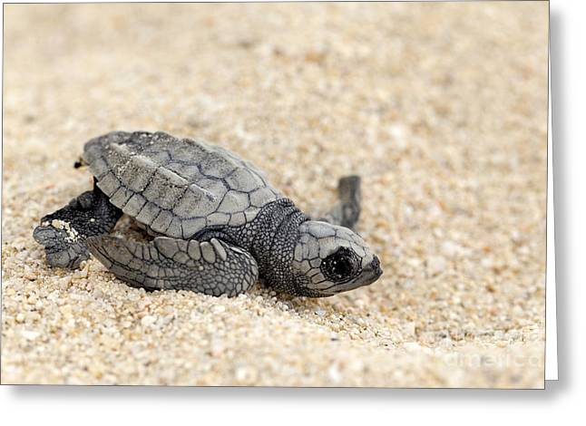 Recently Sold -  - Sea Animals Greeting Cards - Olive Ridley Sea Turtle - Lepidochelys olivacea Greeting Card by Anthony Totah