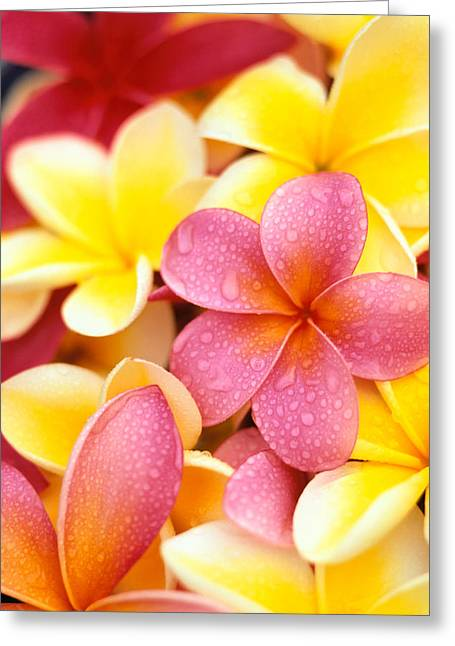 Moist Greeting Cards - Plumeria Flowers Greeting Card by Dana Edmunds - Printscapes