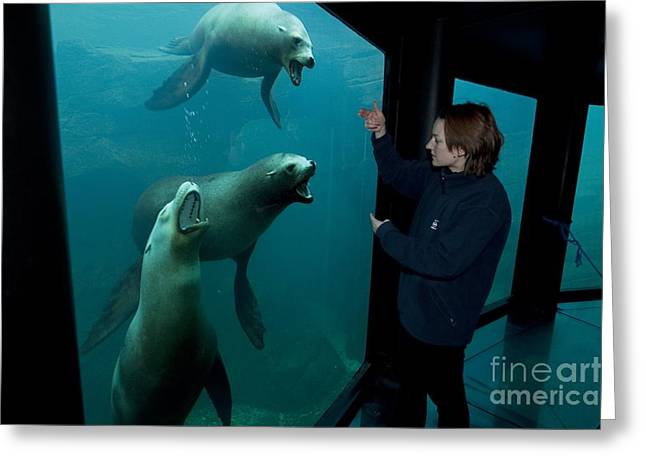 California Sea Lions Greeting Cards - Sea-life Centre, France Greeting Card by Alexis Rosenfeld