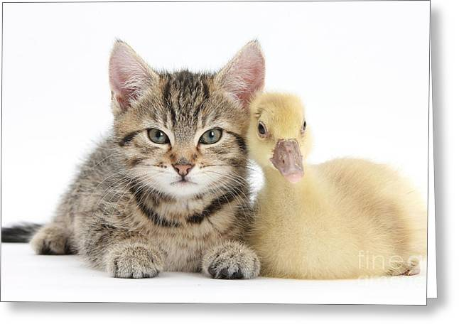 Science Collection - Greeting Cards - Tabby Kitten With Yellow Gosling Greeting Card by Mark Taylor