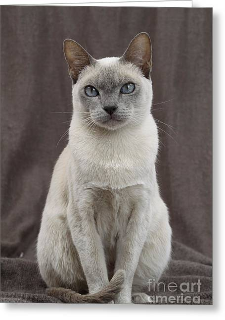 Tonkinese Greeting Cards - Tonkinese Cat Greeting Card by Jean-Michel Labat
