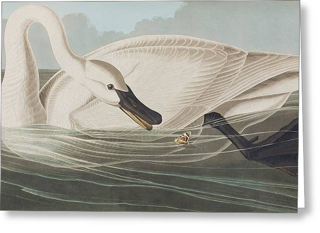 Insects Drawings Greeting Cards - Trumpeter Swan  Greeting Card by John James Audubon