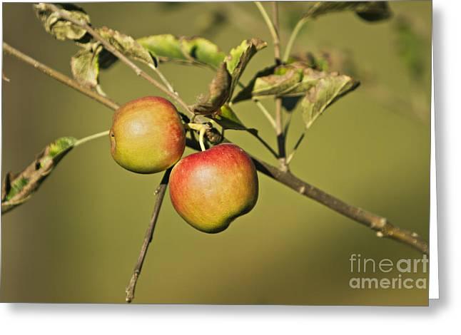 Apple Tree Greeting Card by Dan Radi
