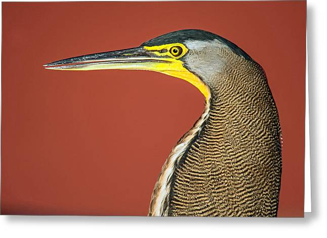 Animal Body Part Greeting Cards - Bare-throated Tiger Heron Tigrisoma Greeting Card by Panoramic Images