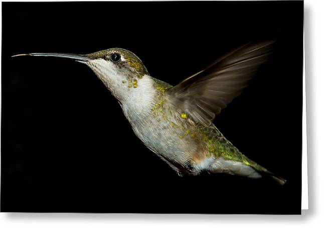 Spider And Fly Greeting Cards - Female Ruby-Throated Hummingbird Greeting Card by Robert L Jackson