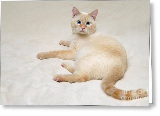 Flame Greeting Cards - Flame Point Siamese Cat Greeting Card by Amy Cicconi