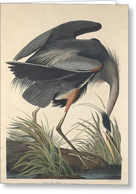 Shorebird Greeting Cards - Great Blue Heron Greeting Card by John James Audubon