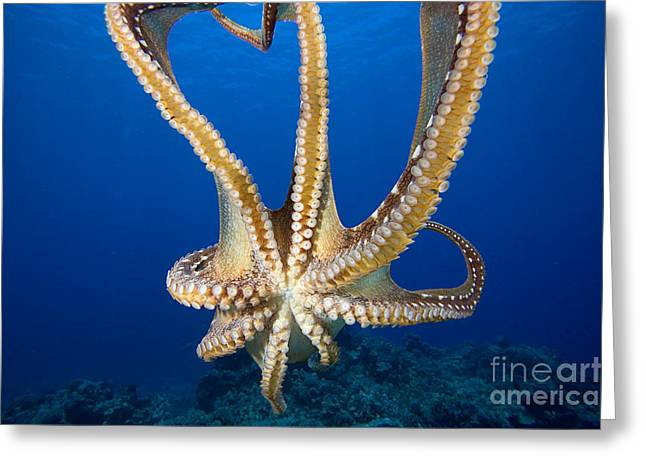Abstract Sunburst Greeting Cards - Hawaii, Day Octopus Greeting Card by Dave Fleetham - Printscapes