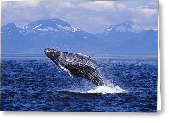 Catalog Greeting Cards - Humpback Whale Breaching Greeting Card by John Hyde - Printscapes