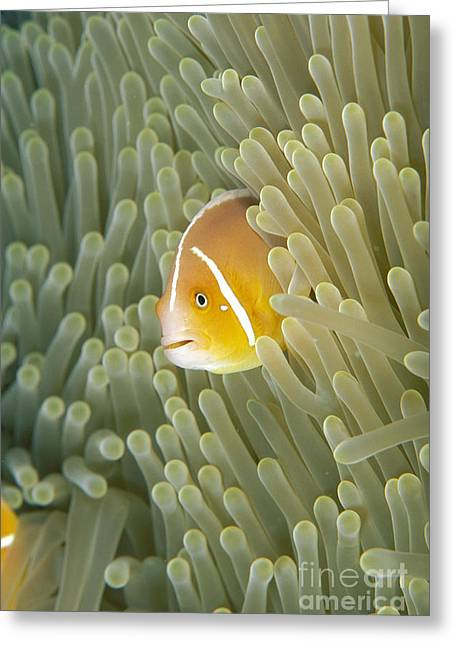 Micronesia Greeting Cards - Micronesia, Marine Life Greeting Card by Dave Fleetham - Printscapes