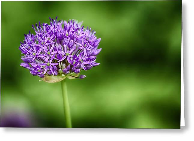 Pincushion Flower Greeting Cards - Pincushion Greeting Card by Robert Ullmann