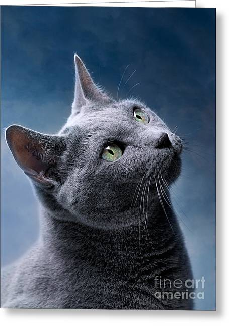 Grey Background Greeting Cards - Russian Blue Cat Greeting Card by Nailia Schwarz
