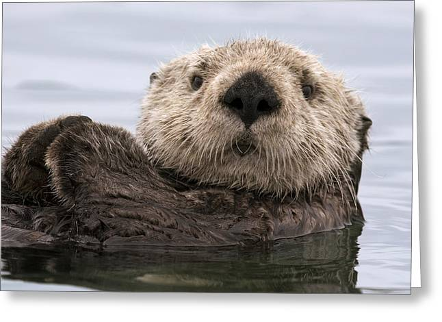 Monterey Bay Image Greeting Cards - Sea Otter Elkhorn Slough Monterey Bay Greeting Card by Sebastian Kennerknecht