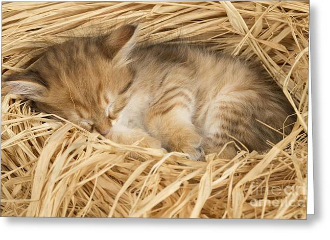 Napping Cat Greeting Cards - Siberian Kitten Greeting Card by Jean-Michel Labat