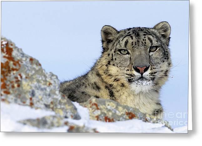 Snow Leopard Greeting Card by Jean-Louis Klein & Marie-Luce Hubert