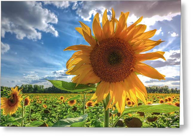 Sunflowers Greeting Card by Steffen Gierok