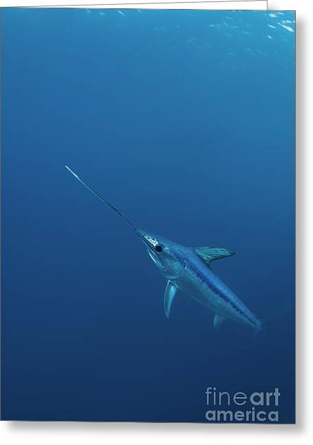 Swordfish Photographs Greeting Cards - Swordfish Swimming Greeting Card by Angel Fitor