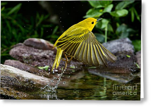 Yellow Warbler Greeting Card by Anthony Mercieca