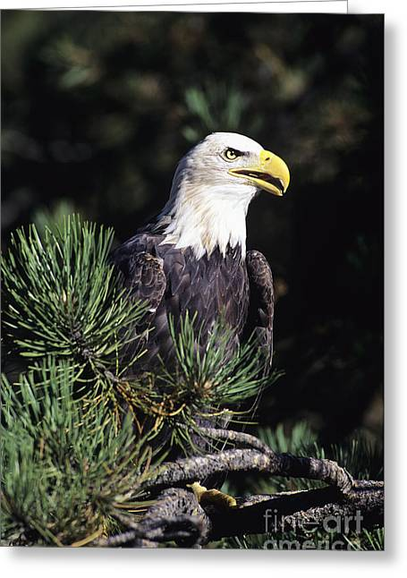 Animal Patriotic Art Greeting Cards - Bald Eagle Greeting Card by John Hyde - Printscapes