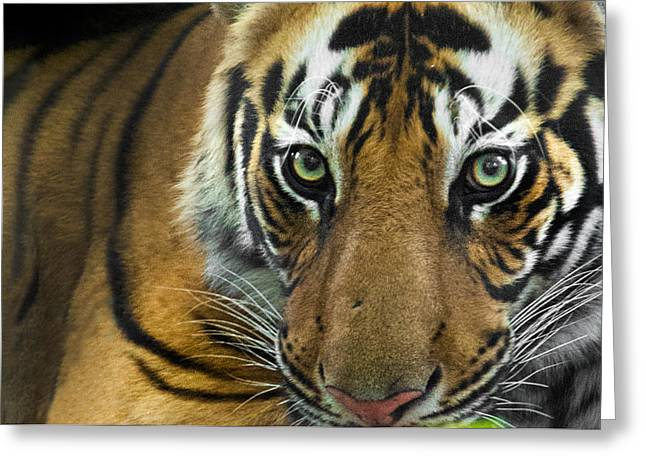 Tigris Greeting Cards - Bengal Tiger Panthera Tigris Tigris Greeting Card by Panoramic Images