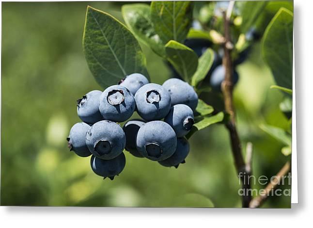 Blueberry Bush Greeting Card by John Greim