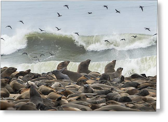 Aquatic Greeting Cards - Cape Fur Seals Arctocephalus Pusillus Greeting Card by Panoramic Images