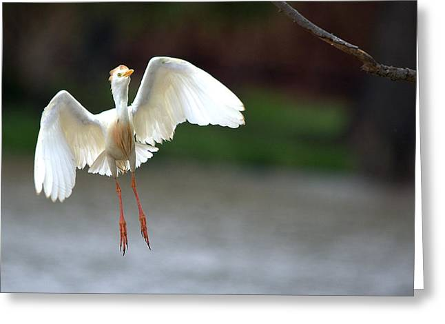 Hunting Bird Greeting Cards - Cattle Egret In Flight Portrait Greeting Card by Roy Williams