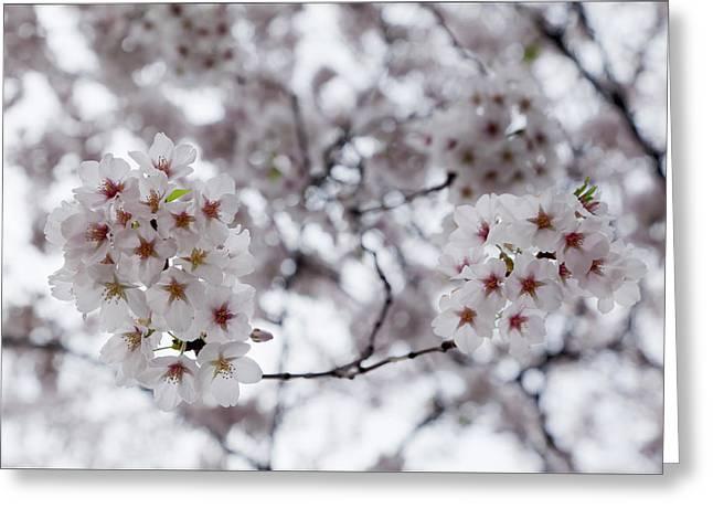 Cherry Blossoms Greeting Card by Robert Ullmann