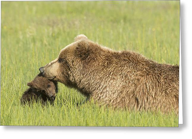 Love The Animal Greeting Cards - Grizzly Bear  Ursus Arctos Horribilis Greeting Card by Daisy Gilardini