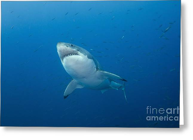 White Shark Photographs Greeting Cards - Male Great White Shark, Guadalupe Greeting Card by Todd Winner