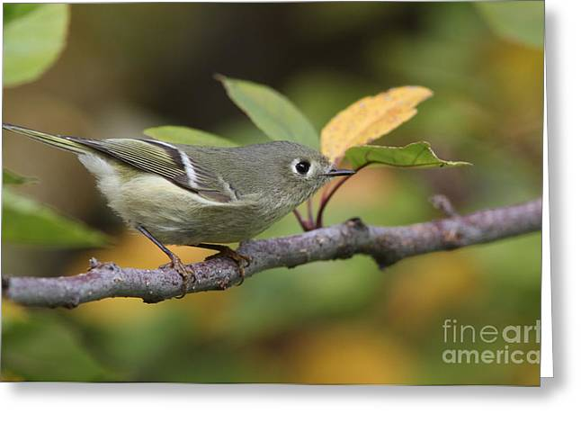 Ruby-crowned Kinglet Birds Greeting Cards - Ruby-crowned Kinglet Greeting Card by Gary Wing