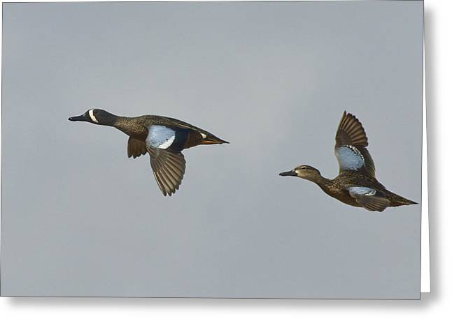 Pairs Greeting Cards - Blue-winged Teals fly by Greeting Card by Mark Wallner
