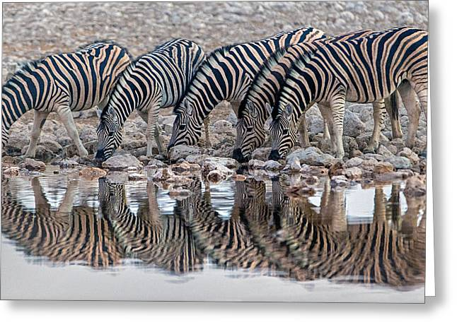 Reflections In River Greeting Cards - Burchells Zebras Equus Quagga Greeting Card by Panoramic Images