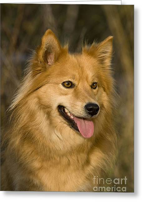 Panting Dog Greeting Cards - Finnish Lapphund Greeting Card by Jean-Louis Klein & Marie-Luce Hubert