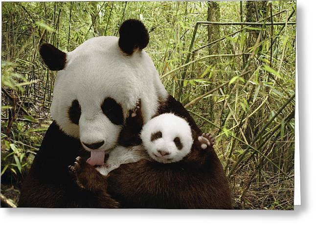 Wolong Nature Reserve Greeting Cards - Giant Panda Ailuropoda Melanoleuca Greeting Card by Katherine Feng