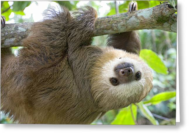 Sloth Greeting Cards - Hoffmanns Two-toed Sloth Choloepus Greeting Card by Suzi Eszterhas