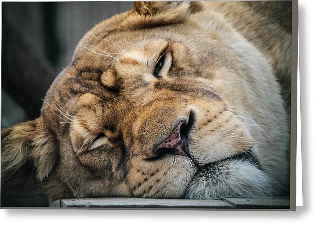 Lioness Greeting Cards - Lion Greeting Card by FL collection