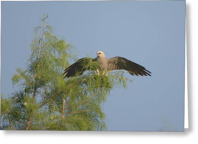 Kite Greeting Cards - Mississippi Kite Treetop Landing Greeting Card by Roy Williams