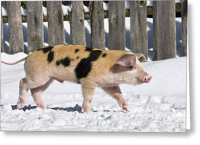 Piglets Greeting Cards - Piglet Walking In Snow Greeting Card by Jean-Louis Klein & Marie-Luce Hubert