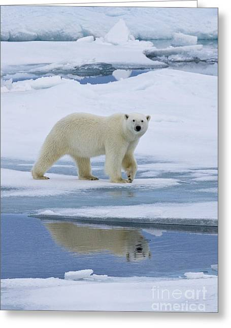 Reflection In Water Greeting Cards - Polar Bear In Svalbard Greeting Card by Jean-Louis Klein & Marie-Luce Hubert