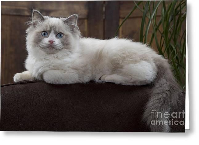 Cat On Back Greeting Cards - Ragdoll Cat Greeting Card by Jean-Michel Labat
