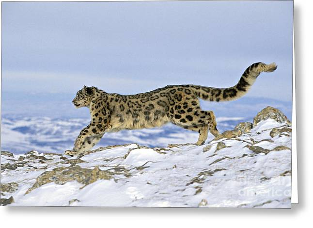 Leopard Running Greeting Cards - Snow Leopard Greeting Card by Jean-Louis Klein & Marie-Luce Hubert