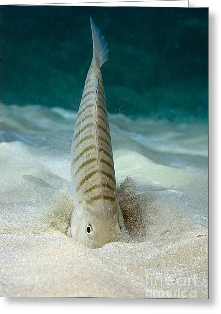 Striped Seabream Greeting Cards - Striped Seabream Searching For Prey Greeting Card by Angel Fitor